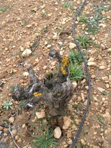 Old-vine Airen