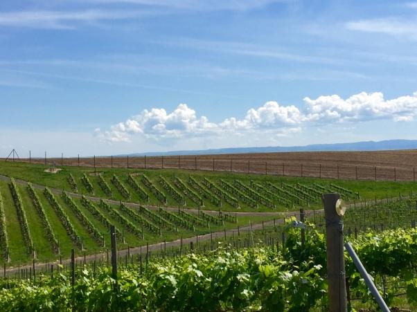 The estate vineyard at Bergevin Lane