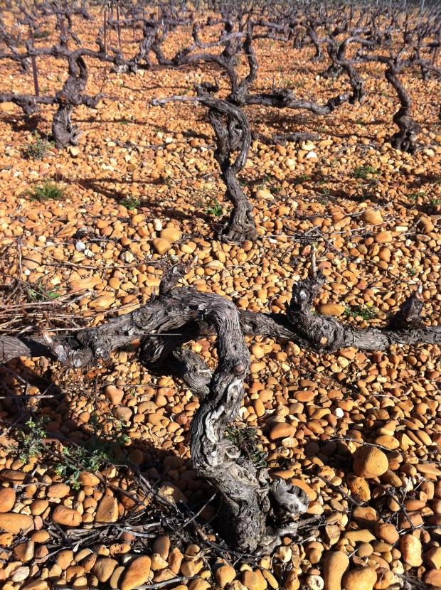 old vines Grenache at Clos d'Alzan.JPG