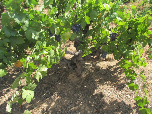 A century-old Zinfandel vine at Story Winery, california.JPG