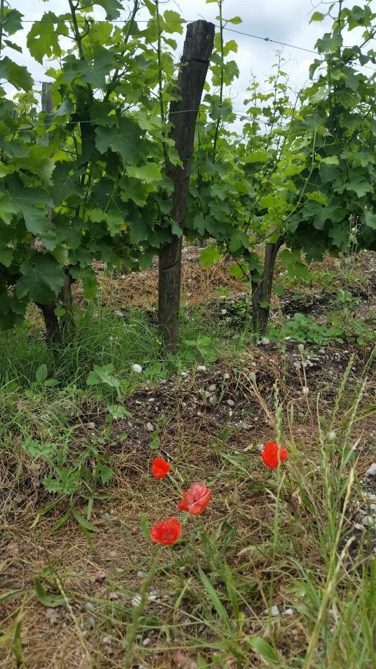 Guiraud vineyard living soil.jpg