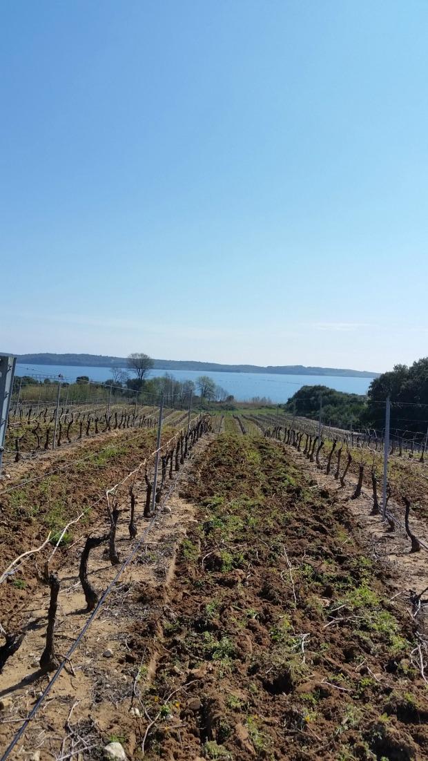 Corsica vineyard (2).jpg