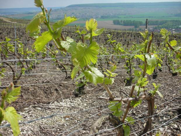 champagne-vineyards-in-may