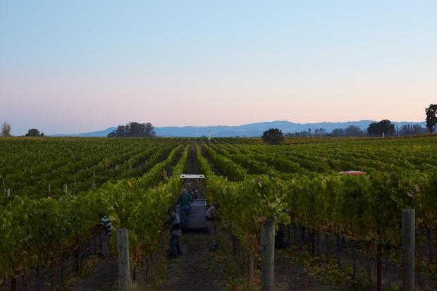 SIMI Harvest 2012 Goldfields Vineyard Harvest 2.jpg